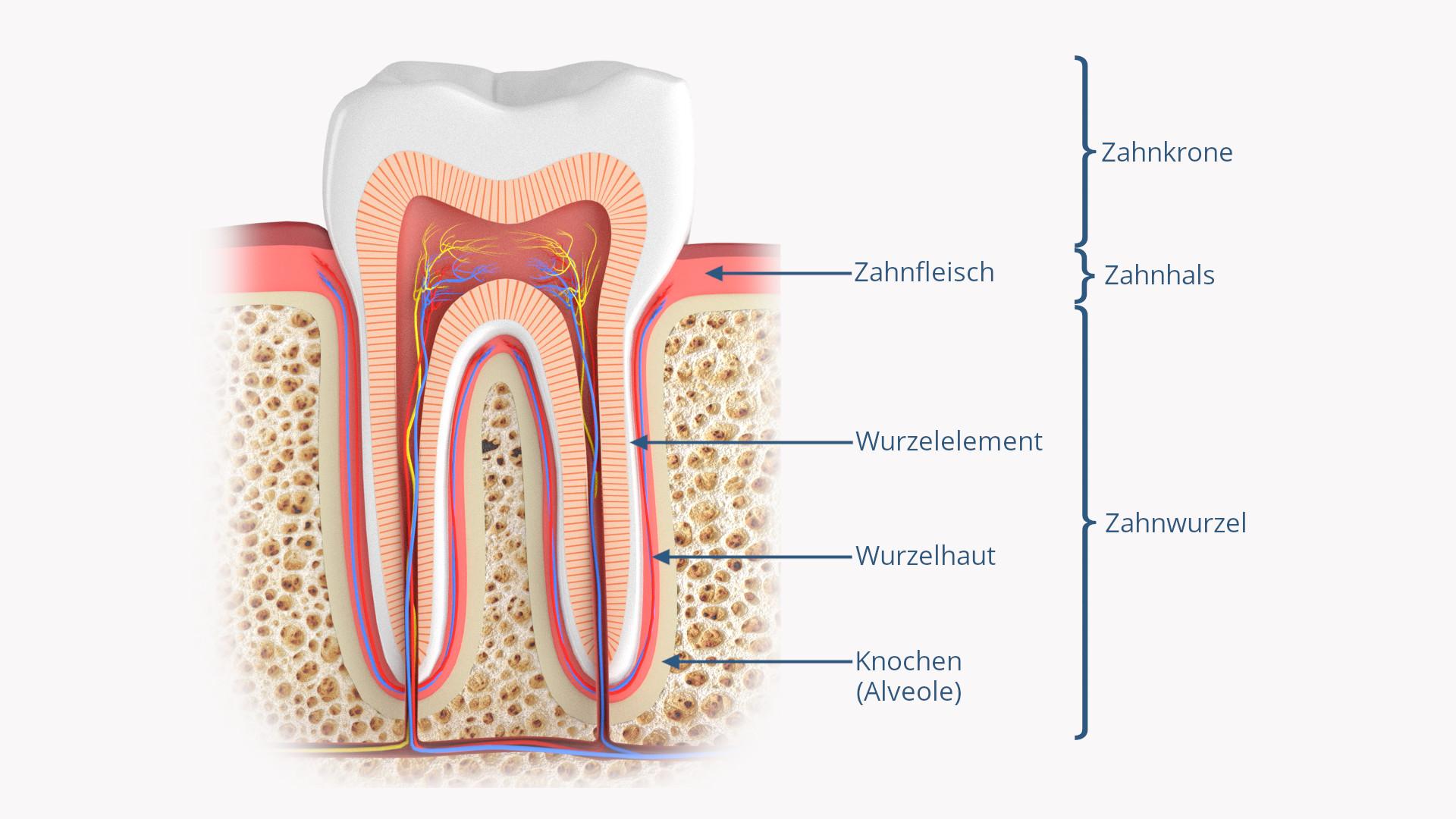 Zahnaufbau-Zahnhalteapparat